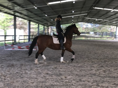 Horse Stud Worker Warmbloods Yarra Valley Vic