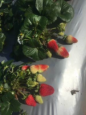 Strawberry Pickers And Packers Required