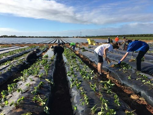 Strawberries Farm Work Available For Second Year Visa Sign Off