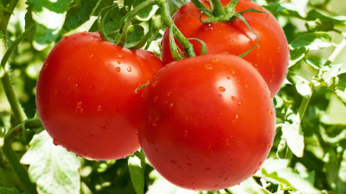 Tomatoes Picking