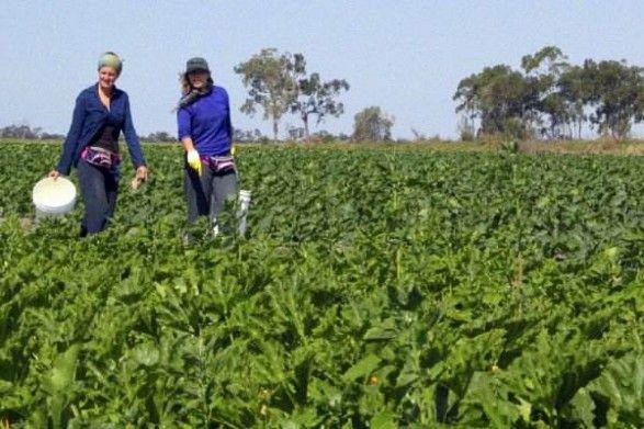 Bundaberg Hourly Paid Packing Tomatoes, Capscium