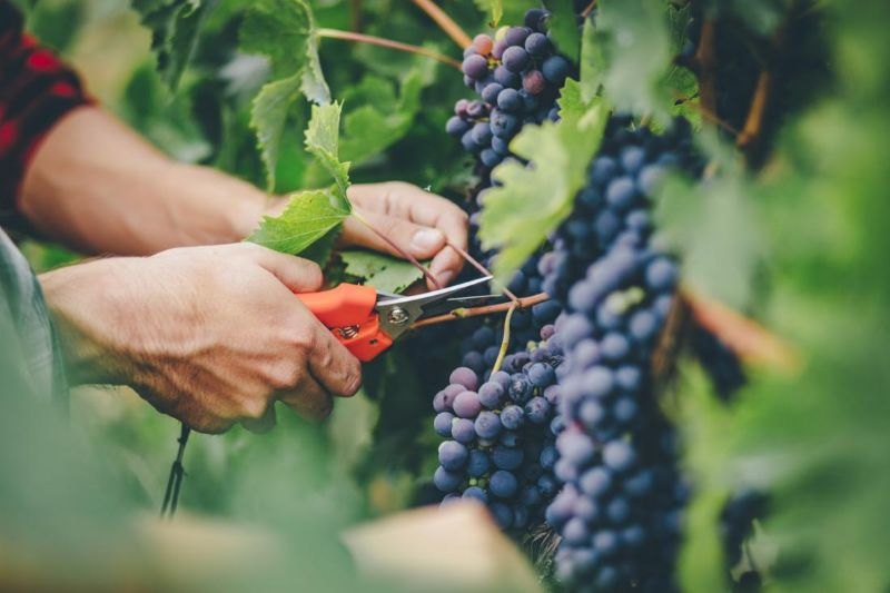 Working Hostel - 2nd Visa Approval Grapes Picking $100~150/day