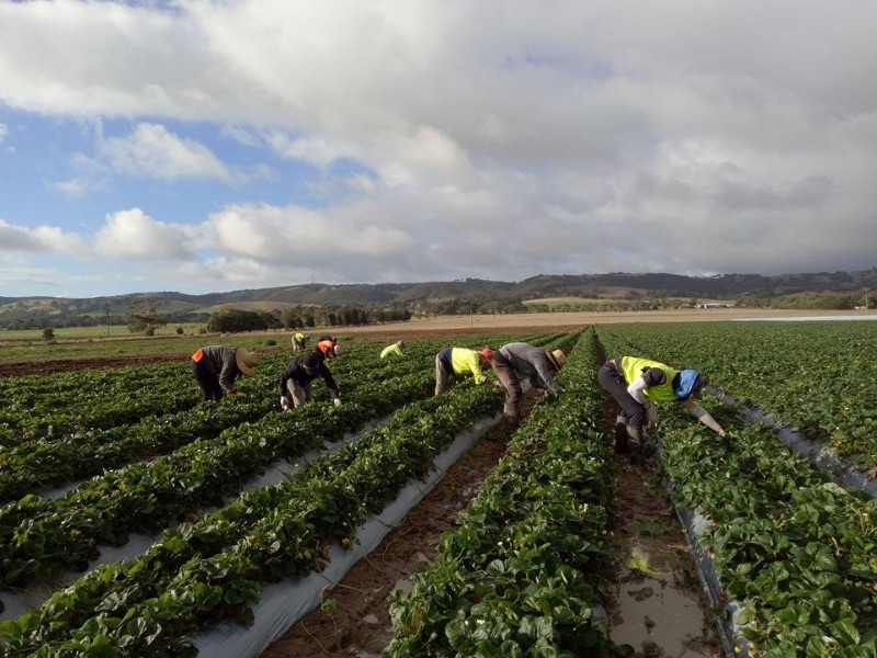 Planting,pulling And Picking For Upcoming Strawberry Season