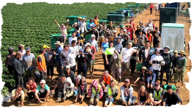 Strawberry Planting! This Farm Is One Of The Biggest In Queensland  Wanted Hard Wokers Ready For New