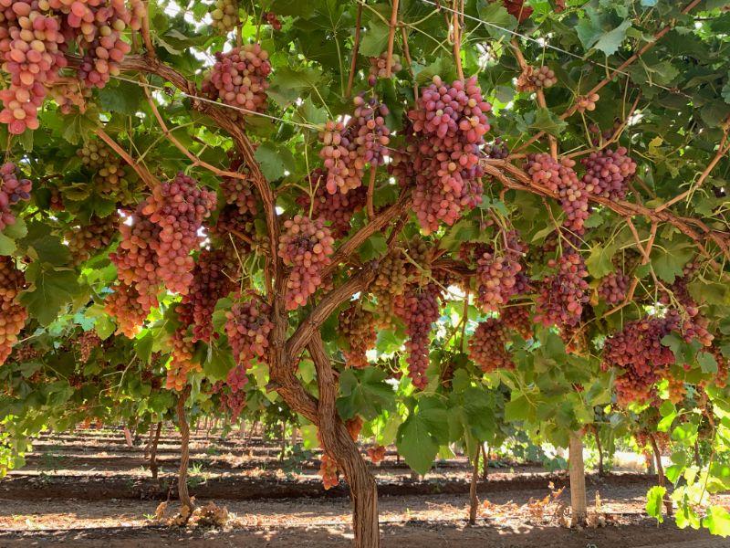 Vineyard Hand