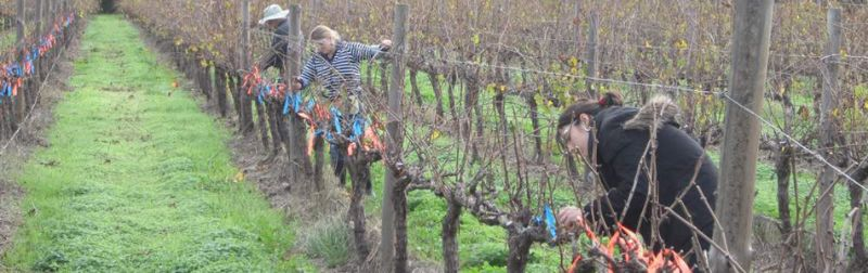 8 Backpackers Needed For Vine Pruning Piecework Rate