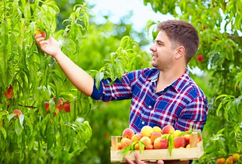 Workers Wanted For Fruit / Veg Picking And Packing Crews