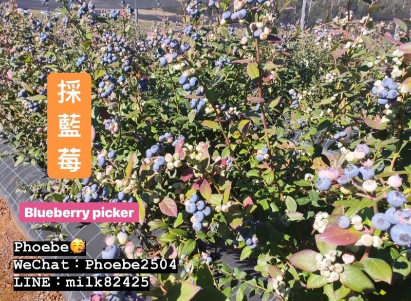 Blueberry Picker