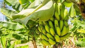 Banana Work In Shed -atherton Tablelands  - Near Cairns