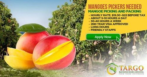Mangoes Picking And Packing