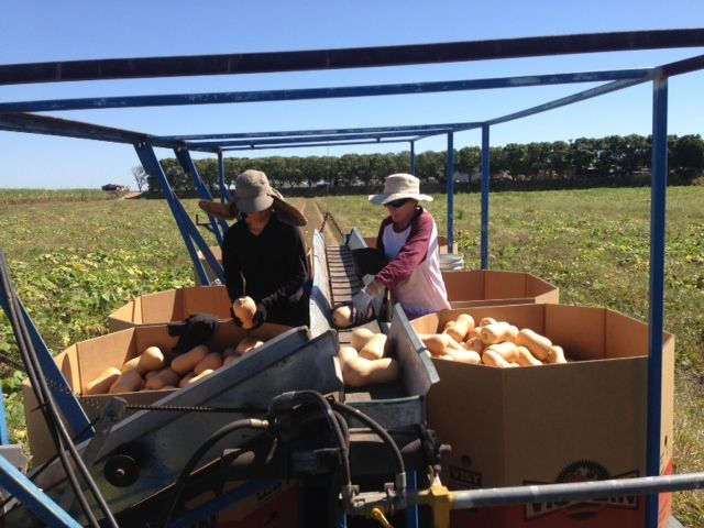 Pumpkin Squash Picking