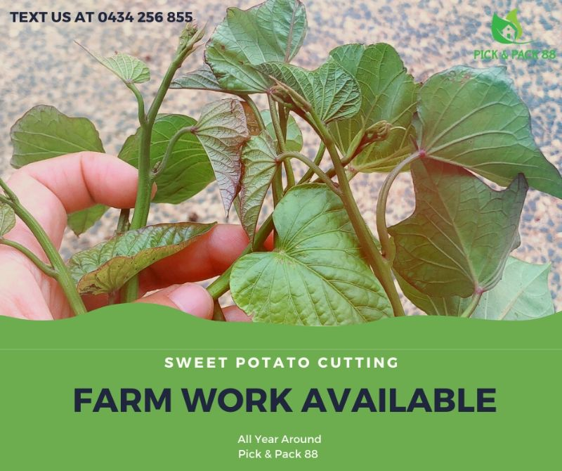Sweet Potato $24.36 Hourly Job!! Sounds Attractive? Join Now!