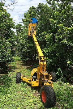 Avocado Harvesting Season Starts (near Cairns)