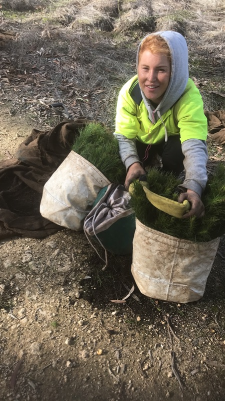 Forestry Pine Planting