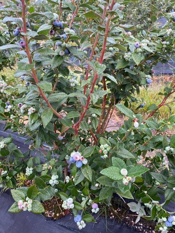 Hire Blueberry Picker In Coffs