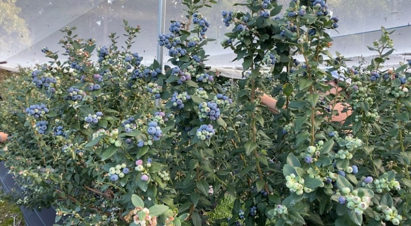 Blueberry Farm In Coffs Harbour (weekly $700 - $1000)