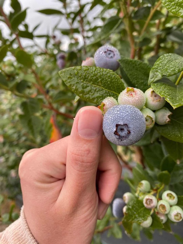 Hiring!! Blueberry Pickers Immediately