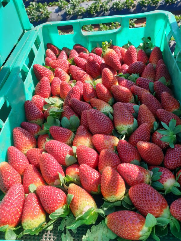 Strawberry Farm Hiring
