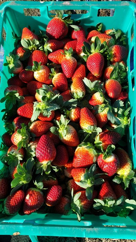 Strawberry Pickers & Packers Wanted