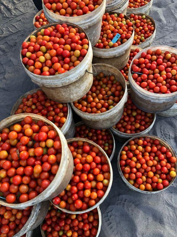 Cherry Tomato & Mini-capsicum Pickers ! Immediately Start !