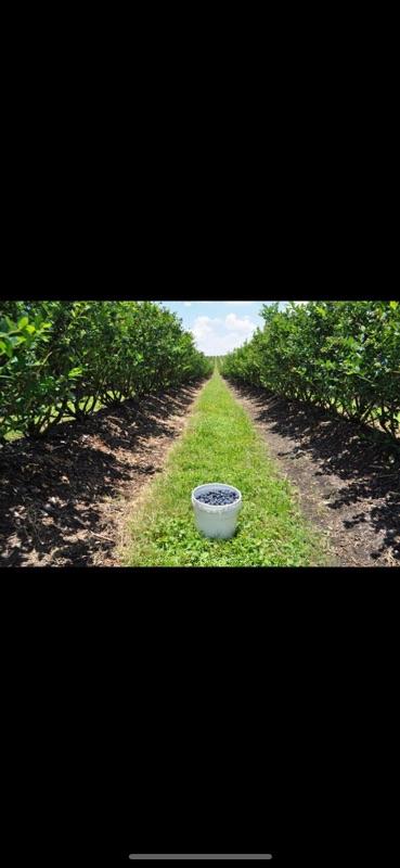 Blueberries Pickers Needed