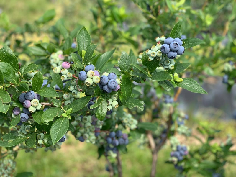 Blueberry Harvest Workers Needed