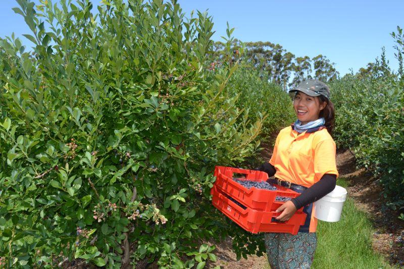 Fruit Picking And Packing - Corindi Nsw