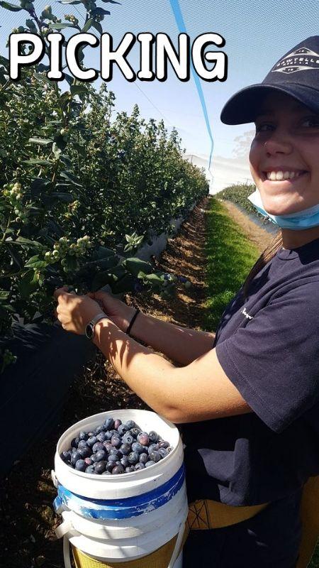 26/10/2020 5000+ View! _ Mountain Blue Farm Blueberry Picker