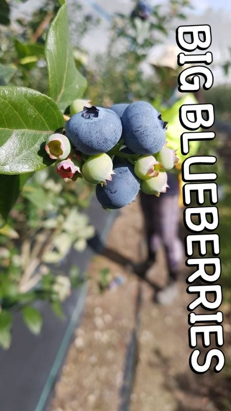 10/12/2020 8100+ View! _ Coffsharbour  Blueberries Farm