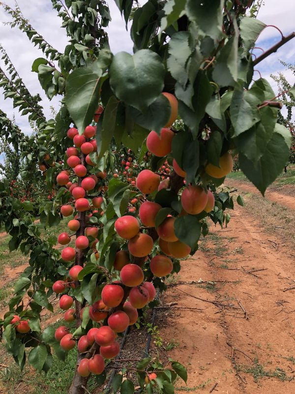 Stonefruit Thinning, Picking & Packing