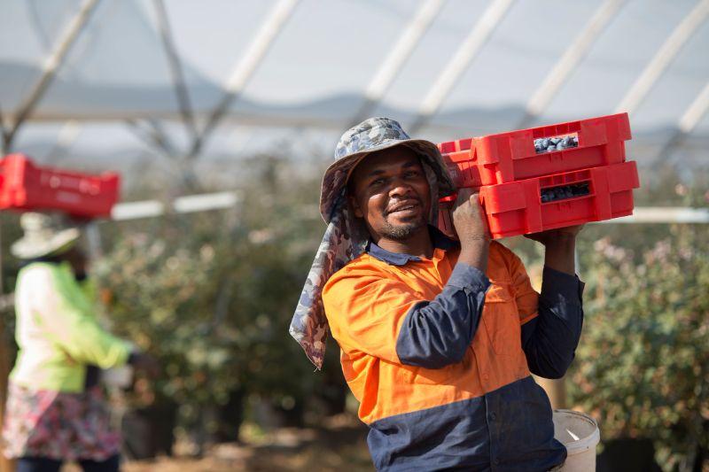 Berry Picking And Packing - Gingin, Wa