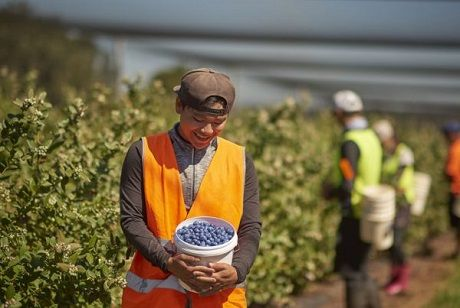 We're Looking For 100 Pickers To Join Our Blueberry Harvest Crew!  Start Next Week!