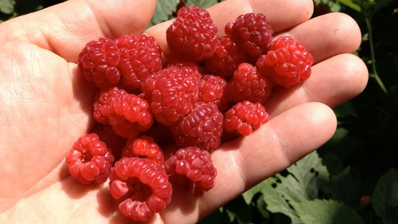 Raspberry, Blackberry And Strawberry Pickers Wanted! For Immediate Start Just 40 Minutes From Brisb