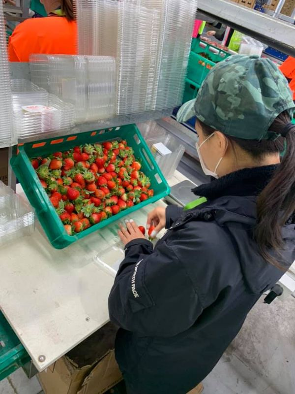 Strawberry Pickers/ Packers Asap.
