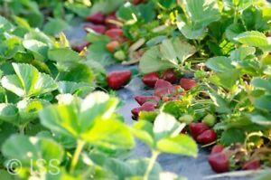 Strawberry/blueberry/raspberry Picking Job(eligible For Applying 2nd Visa)