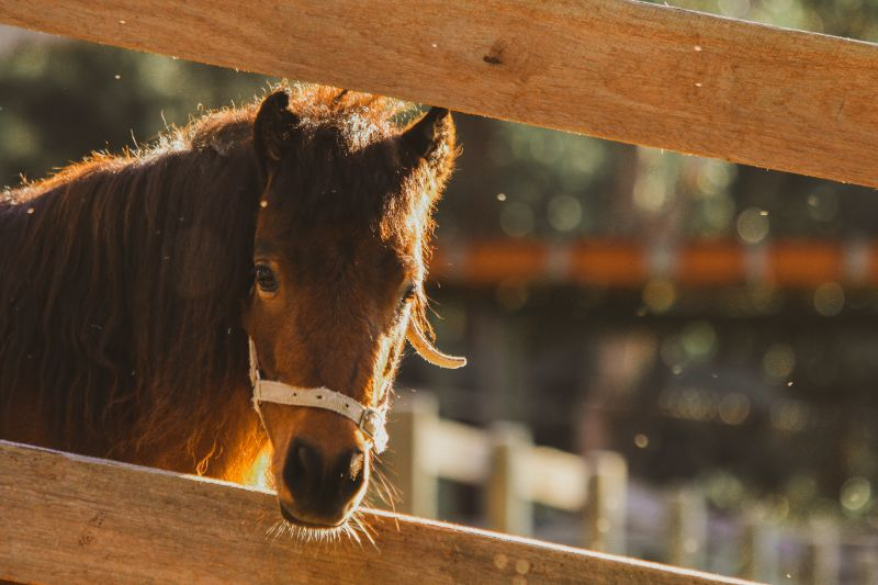 Horse And Mini-farm Hand In Sydney  (northern Beaches) With Free Accomodation