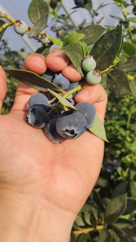Blueberry Picker - High Season Grafton