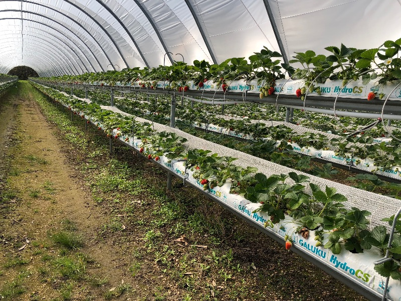 Strawberry(grown On Tables) Picking And Packing  - Start Now