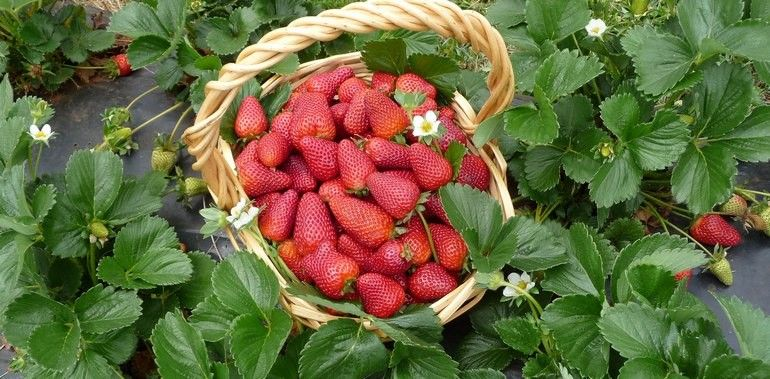 Strawberry Picker Wanted ! Hourly Rate !