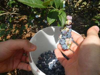 2nd Visa Approval Blueberry Picking $150~200/day