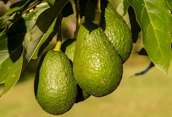 Mangoes And Avocados Farm Hand For Working Visa