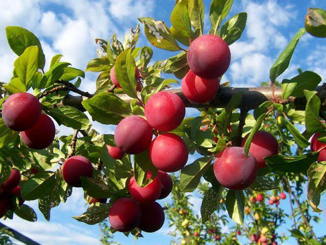 Stonefruit Harvest