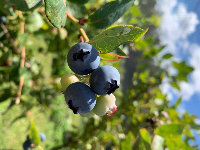 Live On Farm Blueberry Picking
