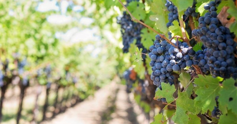 Grape Picking And Numerous Farm Work