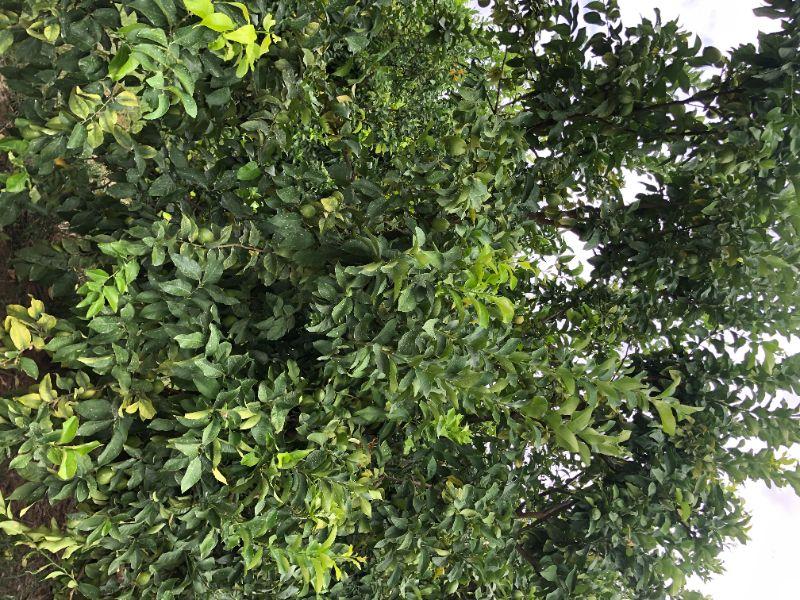 Lemon Snipping Or Picking