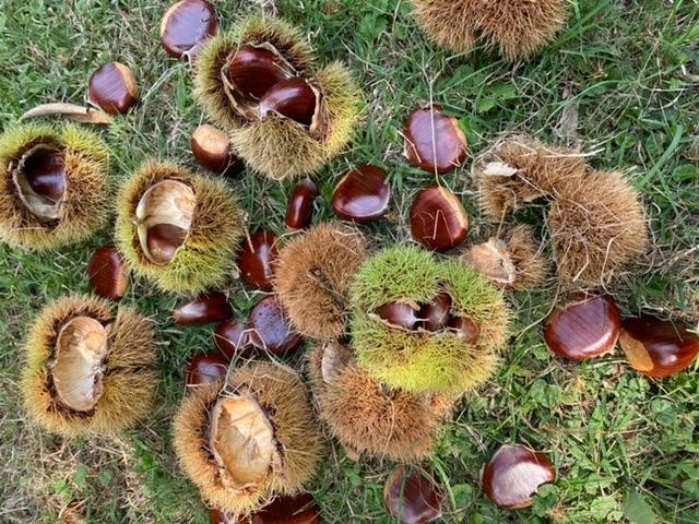 Farm Work - Picking Chestnuts