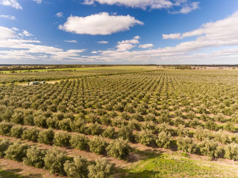 Olive Grove Workers
