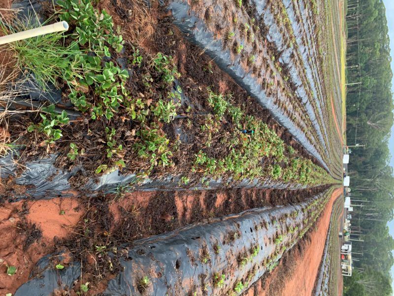 Strawberry Farm Need Help!!!