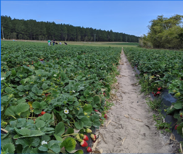 Caboolture Strawberry Farm