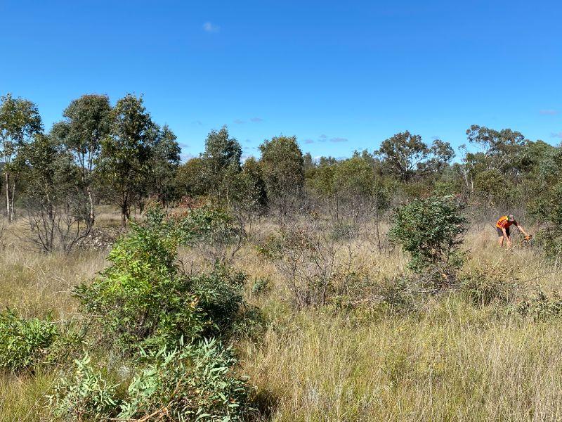 Eucalyptus Harvest